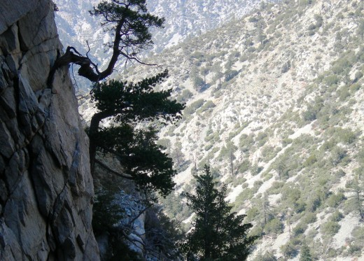 Cedar on cliff