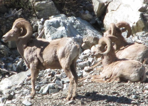 Three Big Horn Sheep on the slopes of Mt. Baldy