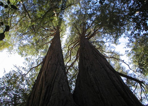 Looking up at two tall trees on Mt. Baldy